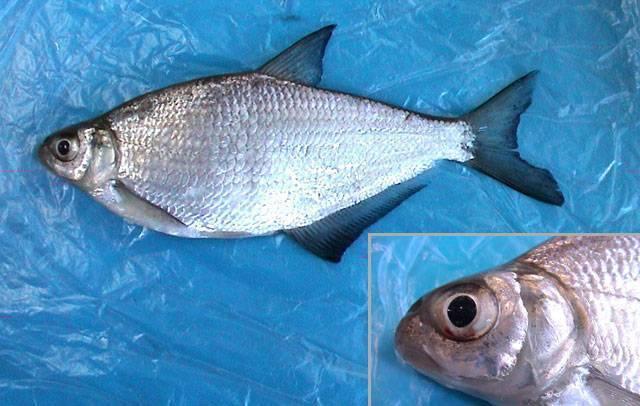 Рыба «Глазач» фото и описание