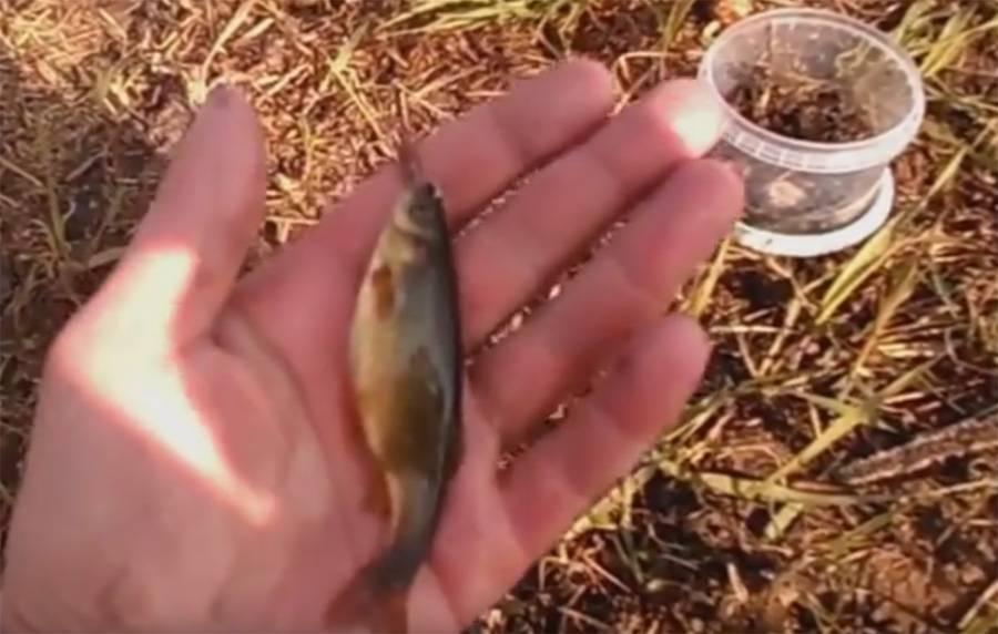 Рыба гольян обыкновенный: фото, описание, виды (речной, озерный)