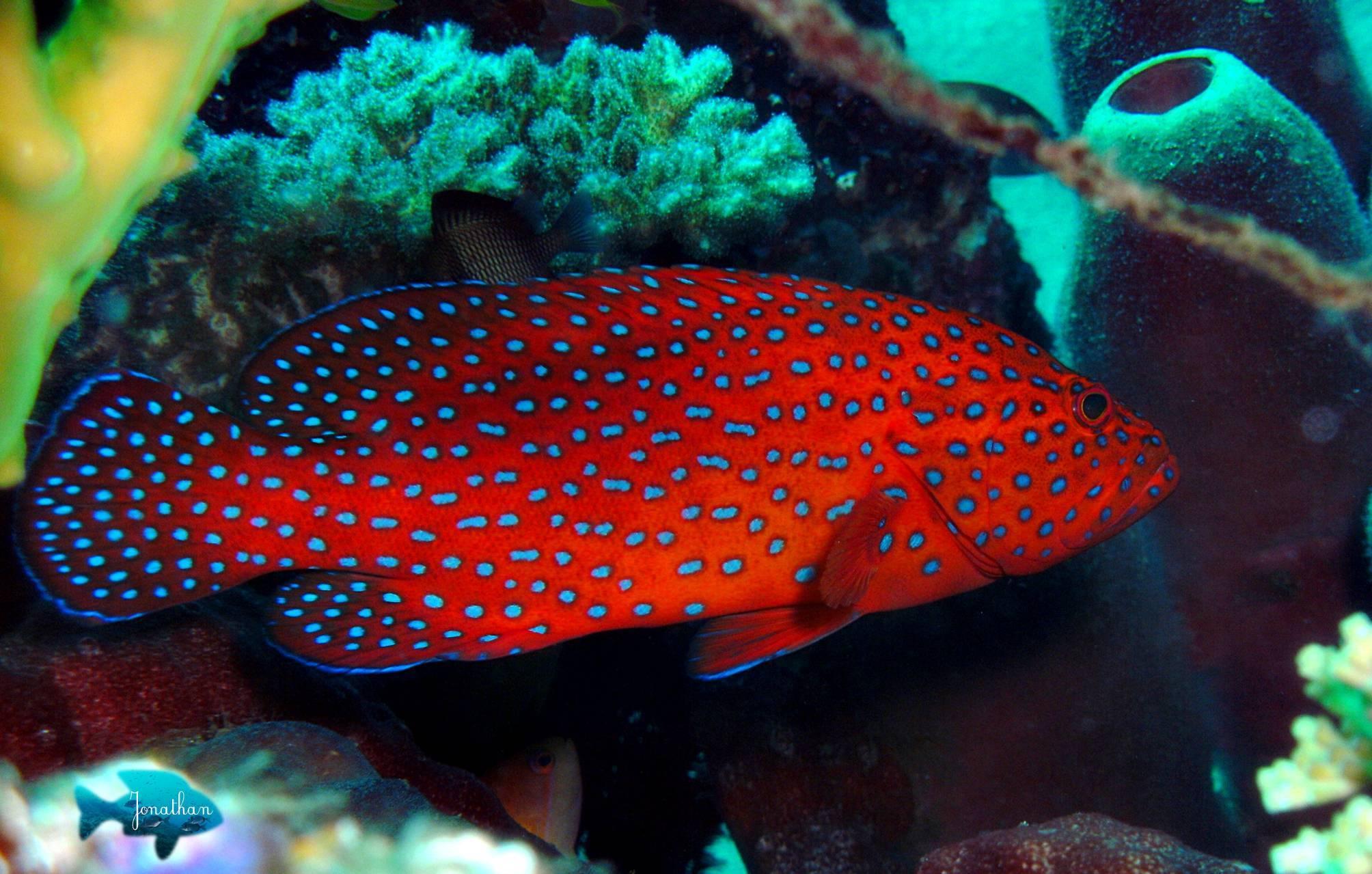 Групера рыба — описание вида и способы лова. 135 фото и видео как поймать групера