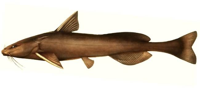 Рыба «Косатка-плеть» фото и описание
