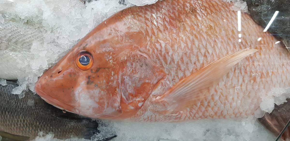 Окунь морской красный: фото, описание, снасти, наживка, где водится, как ловить?