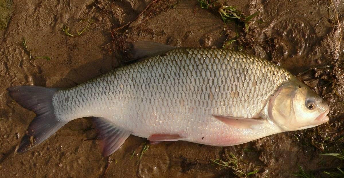 Характерные особенности язя и несколько принципов отличия этой рыбы от голавля, примеры, фото