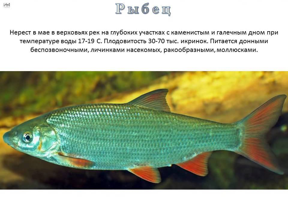 Рыба шамайка: внешний вид, образ жизни и фото