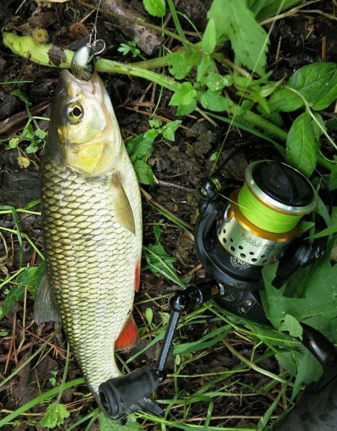 Техника ловли на спиннинг: ужение, вываживание, подсечка и другие особенности: как распознать поклевку, правила вываживания крупной рыбы легким спиннингом