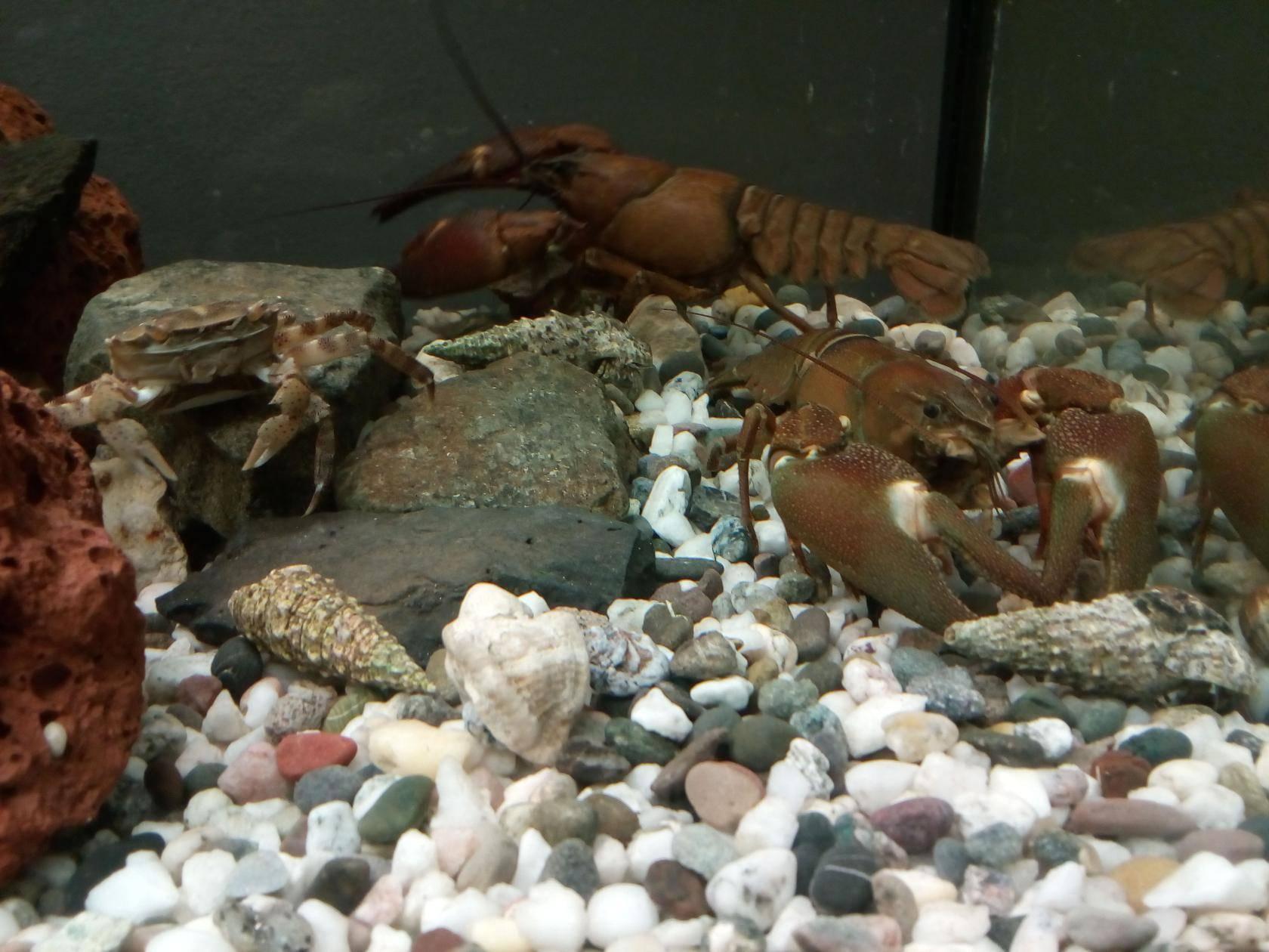 Карликовые раки: виды, описание, условия содержания и размножения