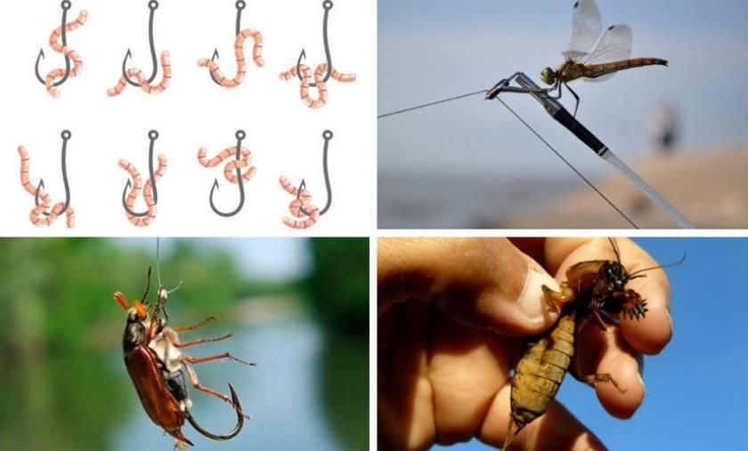 Как ловить голавля на майского жука: выбор снастей, места и как насаживать