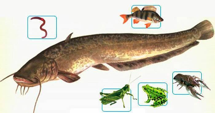 Рыба вьюн: характеристики, обитание, ловля и разведение