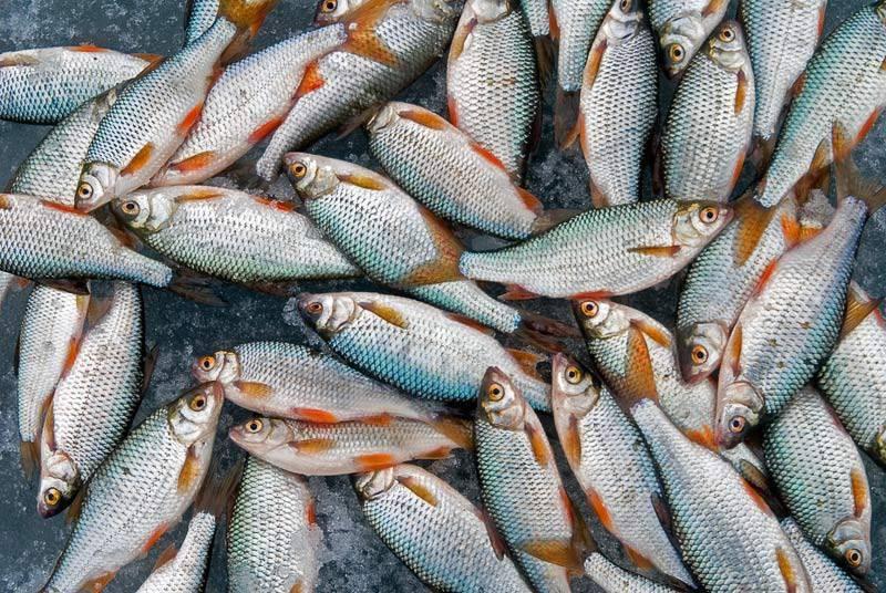 Что за рыба тарань?