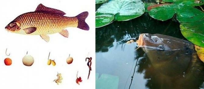 Ловля сазана: как правильно ловить на удочку, необходимая длина поводка для рыбалки