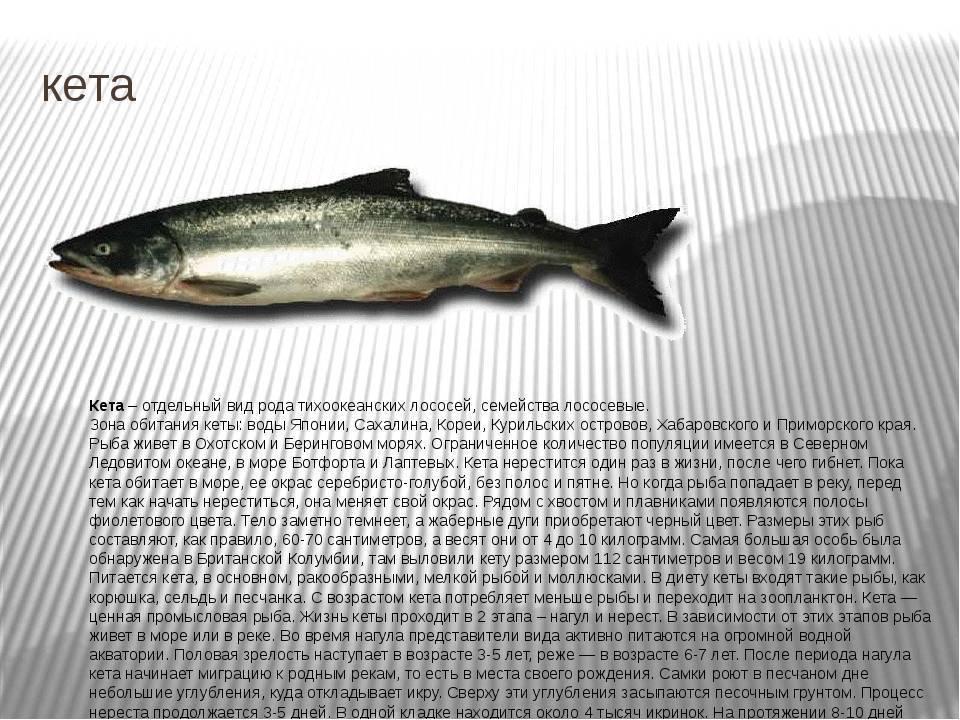 Кета или горбуша: что лучше, чем отличается икра и мясо этих лососей