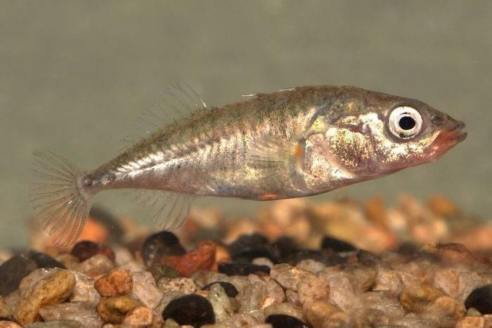 Колюшка, колюшки, колюшковые | научно-популярные статьи по биологии и естествознанию