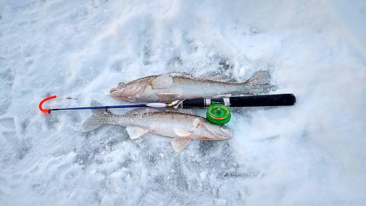 Ловля судака нажерлицу зимой