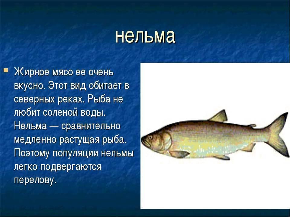 Рыба нельма (белорыбица) — символ ихтиофауны сибири