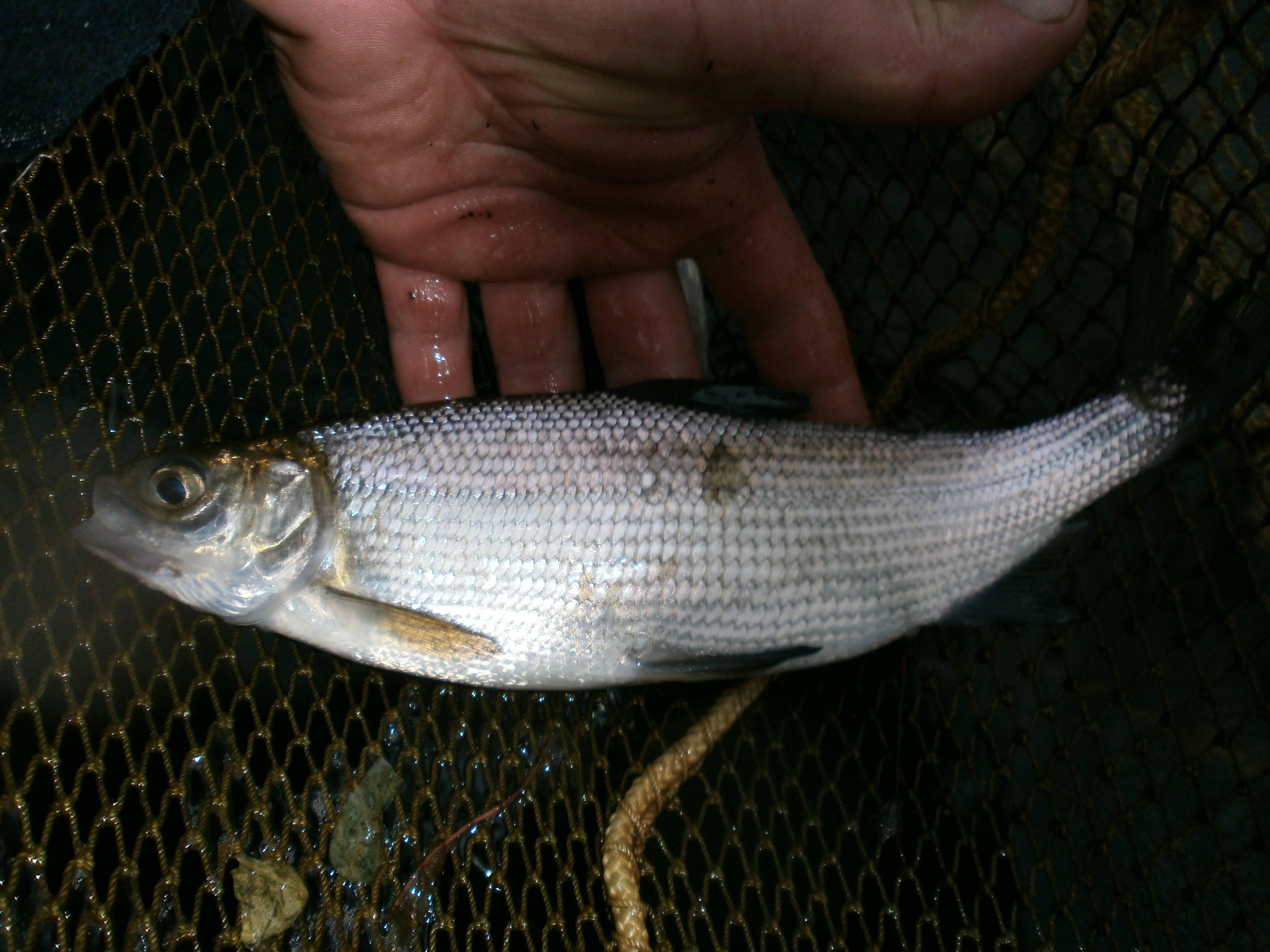 Пелядь рыба: хозяйственное значение и технология разведения — cельхозпортал