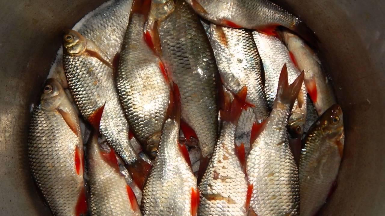 Польза сушеной и вяленой рыбы, домашнее приготовление таранки