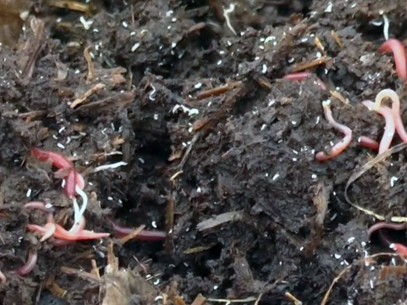 Тонкости собственного разведения навозных червей