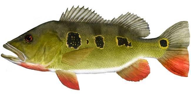 Рыба «Павлиний окунь-бабочка» фото и описание