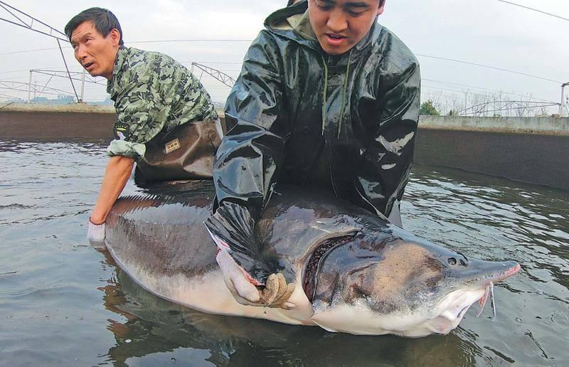 Калуга: состав, польза рыбы. калуга в кулинарии и рецепты