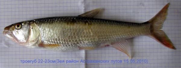 Рыба-наполеон: описание, обитание и размножение