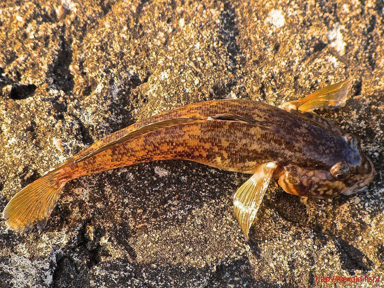 Черноморская рыба бычок: характеристика, виды и ловля морского бычка