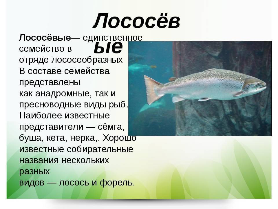 Лосось: описание, чем питается, среда обитания, виды