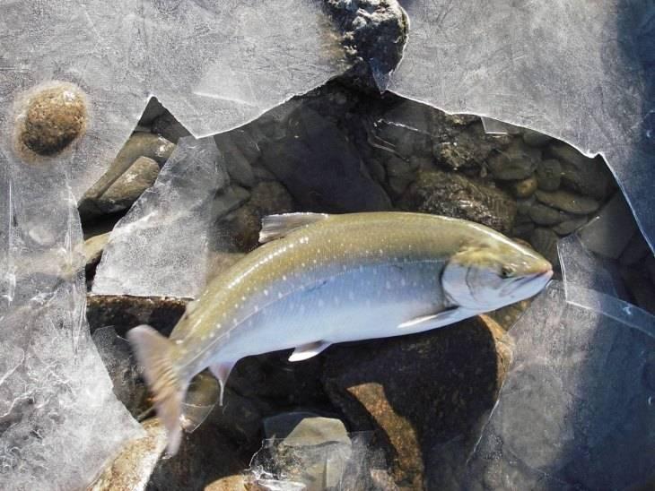 Рыба голец - фото и описание, особенности ловли | клёвая рыбалка