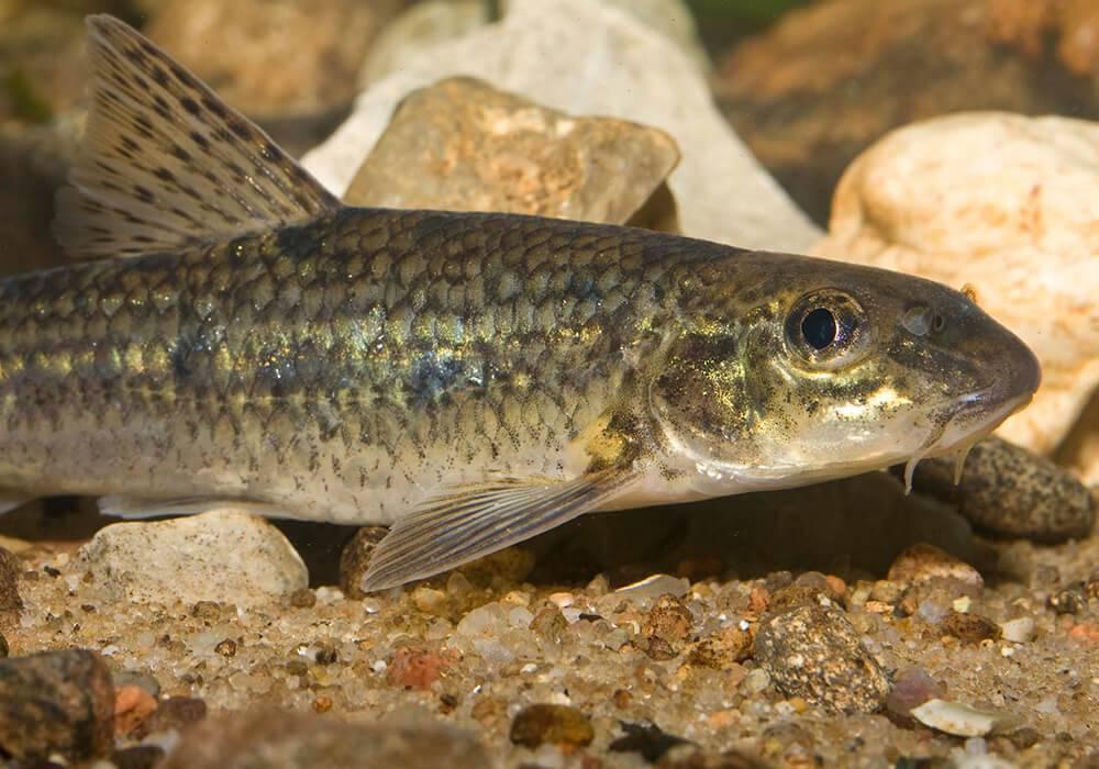 Рыба «Пескарь обыкновенный» фото и описание