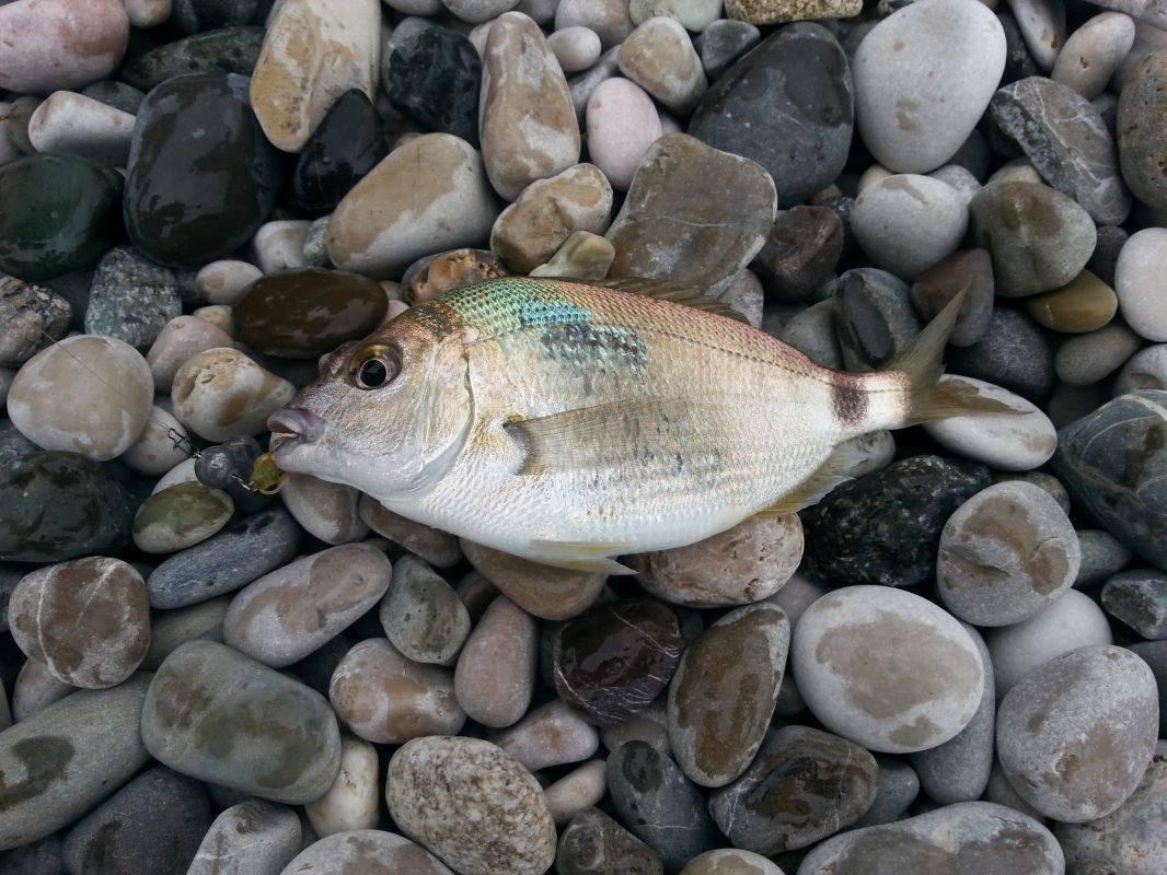 Рыба дальнего востока: виды, названия и фото