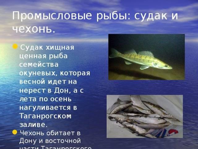Шамайка рыба фото - зоо мир