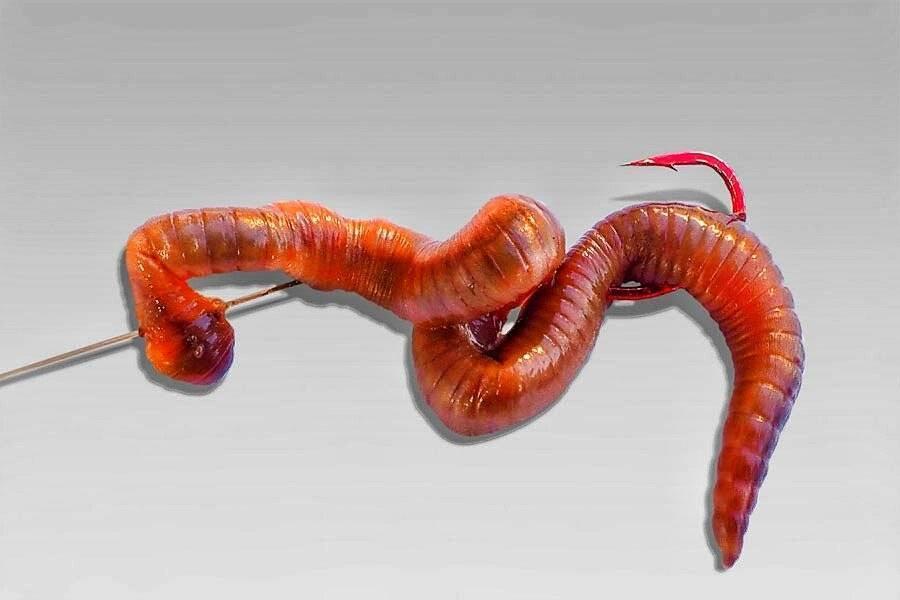 Как правильно насаживать червя на крючок?