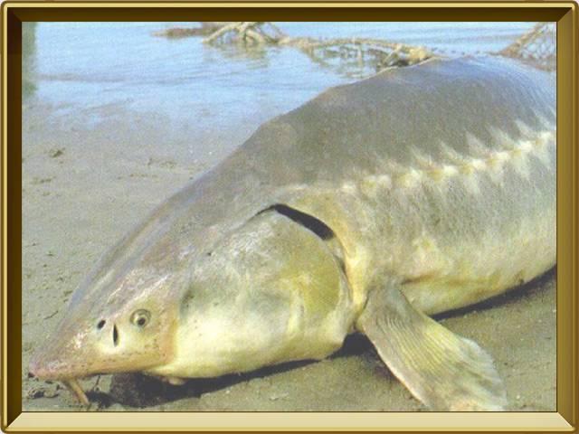Рыба калуга: фото и описание, места обитания и образ жизни, питание и размножение