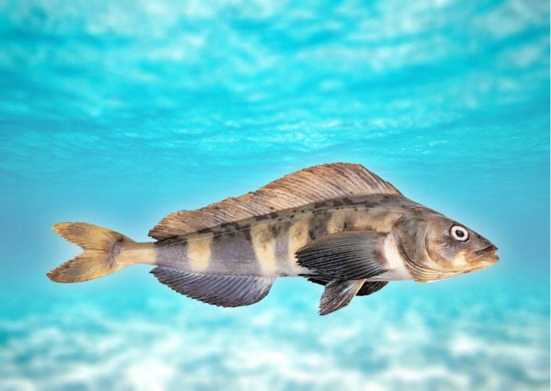 Терпуг – что это за рыба, и как правильно и вкусно ее приготовить