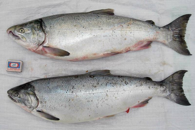 Рыба кижуч - рецепты вкусных блюд с фото. как вкусно посолить, запечь или пожарить красную рыбу кижуч