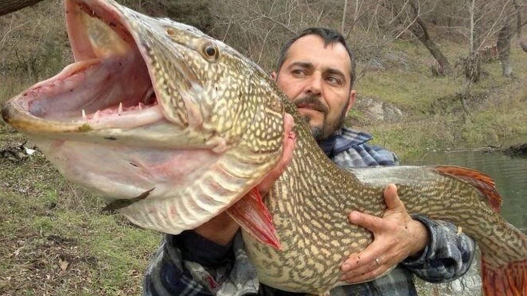 Самая большая щука в мире: народные легенды и научные обоснования существования огромных рыбин   berlogakarelia.ru