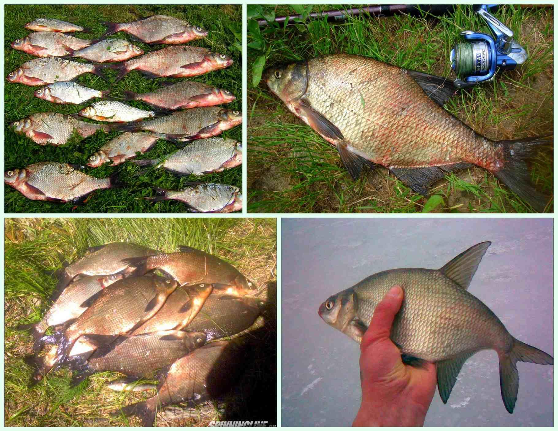 Ловля леща осенью на фидер в сентябре, октябре и ноябре - приманки, прикормка, техника ловли