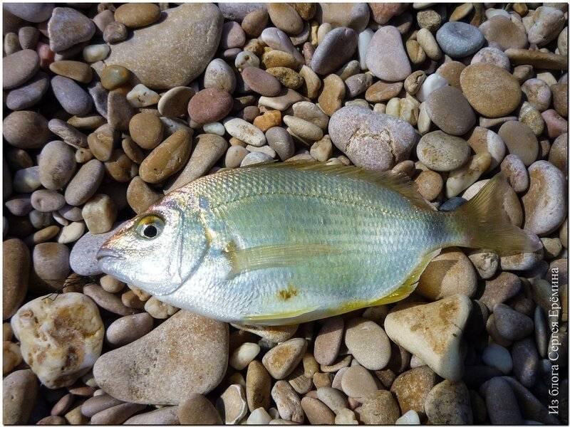 Морской карась: как называется, особенности рыбалки в черном море