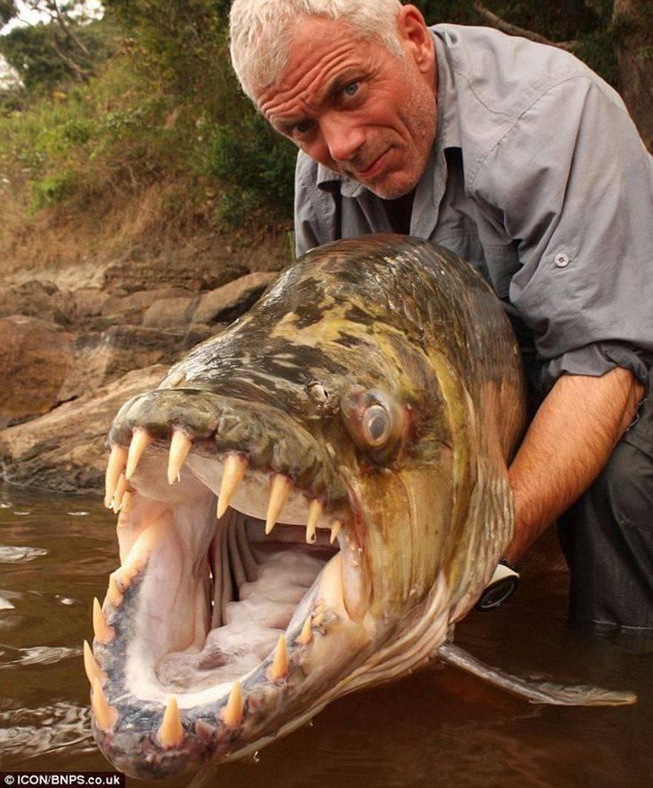 Африканский тигровый голиаф, или гидроцин: характеристики речного монстра и особенности ловли рыбы
