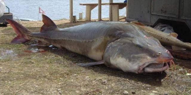 Рыба калуга фотографии ⋆ онлайн-журнал для женщин