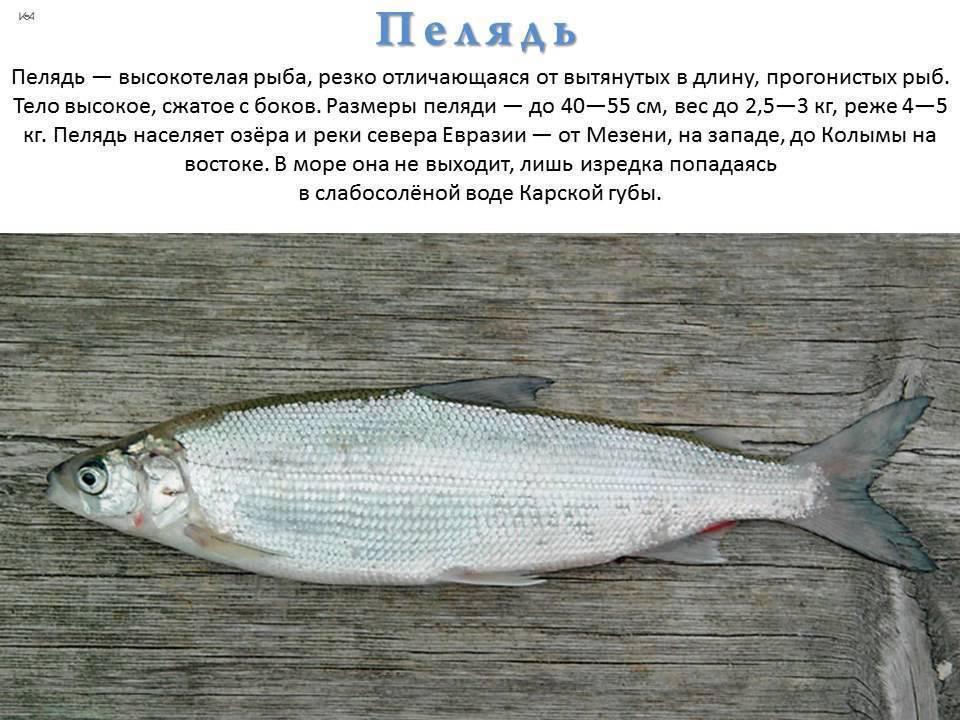 Рыба сырок (пелядь): фото и описание, где водится, образ жизни, описторхозная или нет