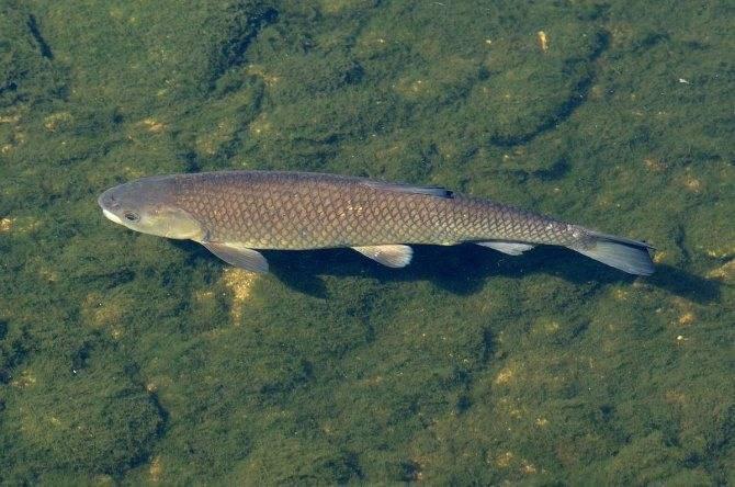 Белый амур — описание рыбы и способы ее лова