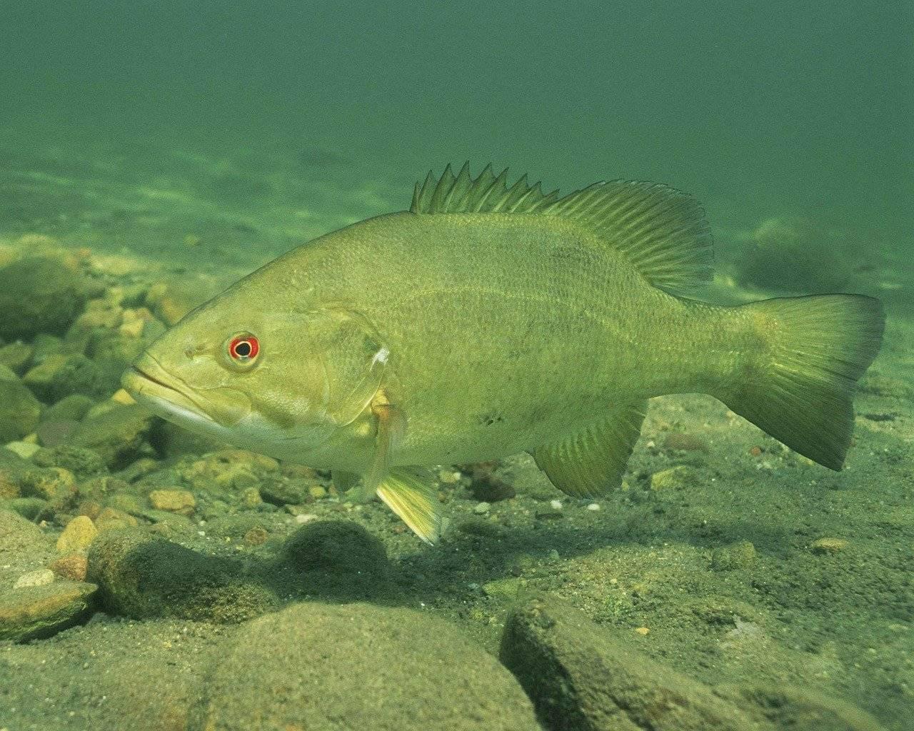 Рыба «Басс малоротый» фото и описание