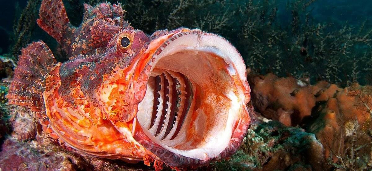 Морской дракон – опасная и ядовитая рыба черного моря