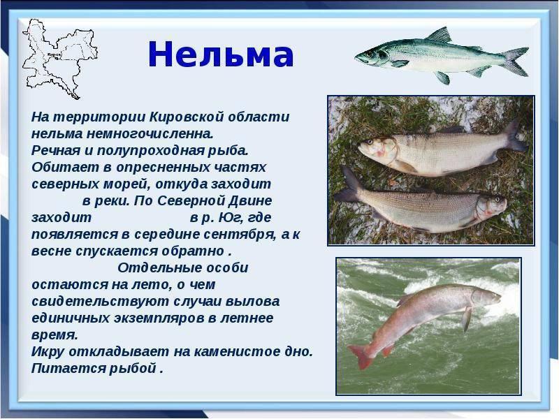 Белорыбица — что это за рыба?