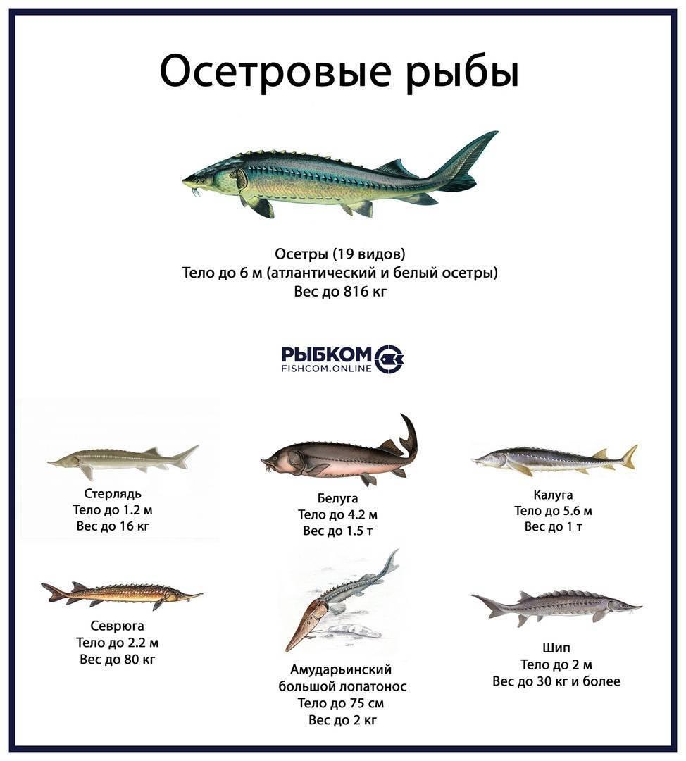 Важные факты про красную рыбу, которые стоит знать