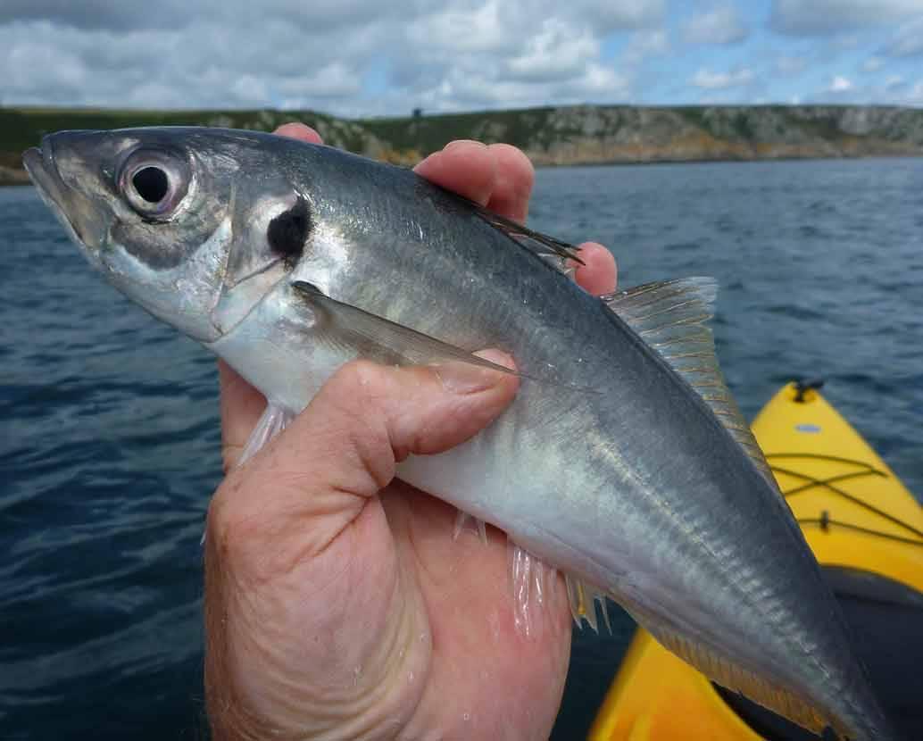 Простипома - рыба необычная: описание, особенности, приготовление