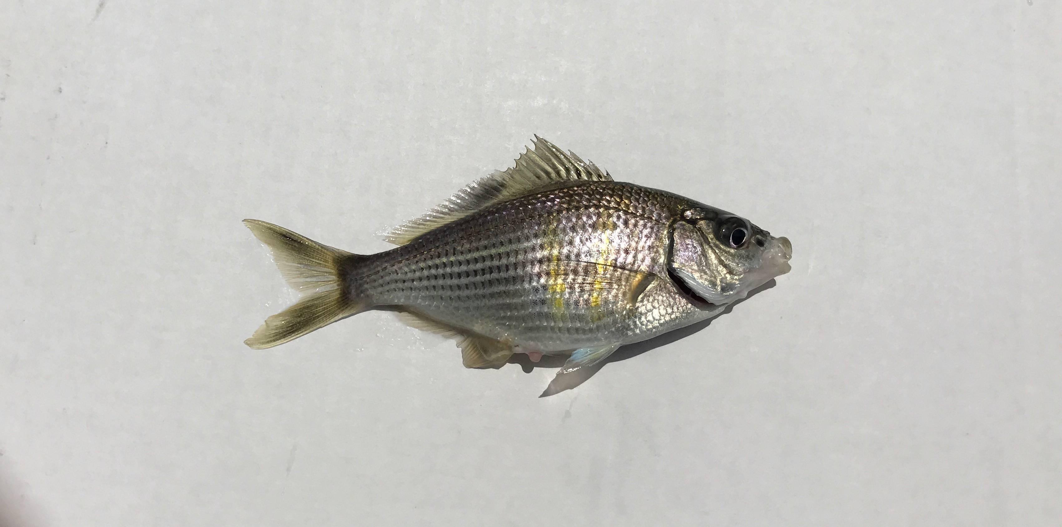 Калико рыбалка – южная калифорния - fishingbooker