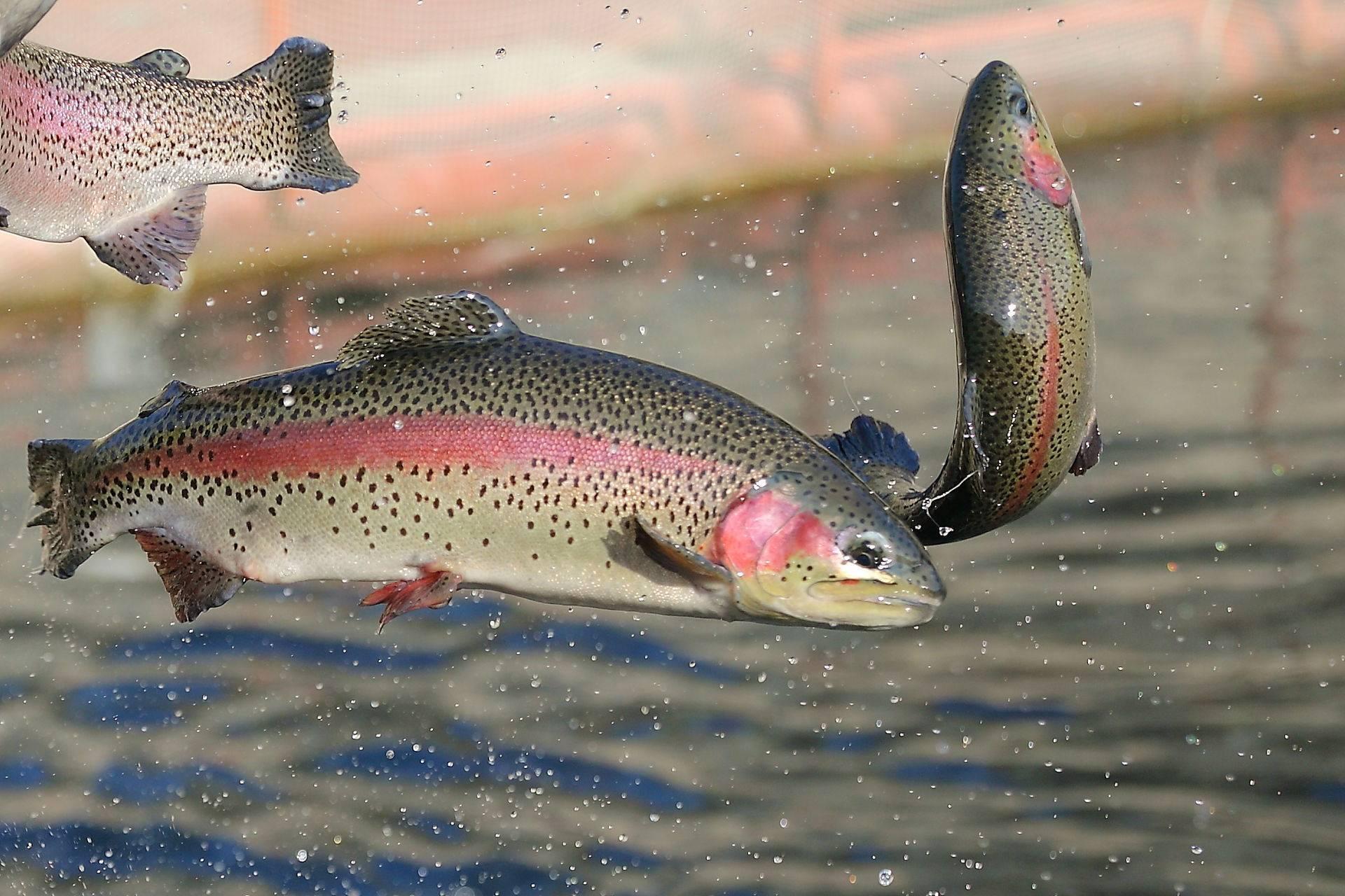 Рыба форель: описание, виды и места обитания