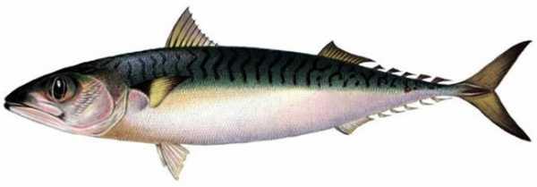 Скумбрия — что это за рыба, чем она полезна и как ее готовить?