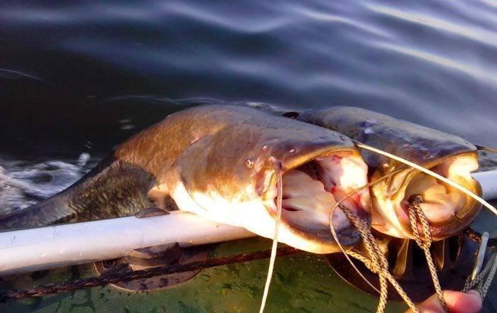 Ловля сома на волге | рыболовный блог kovach