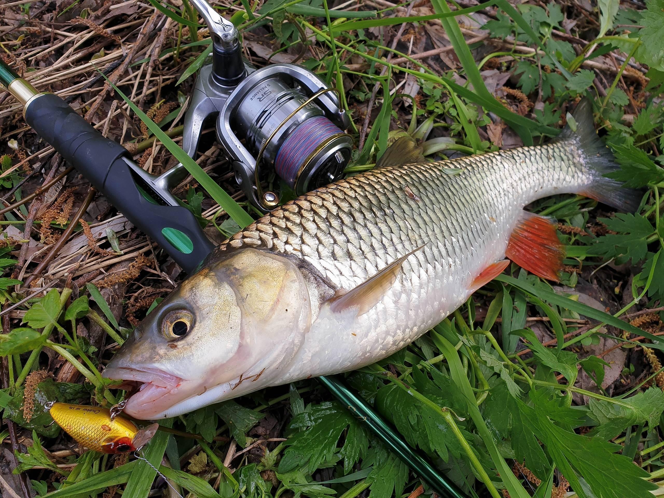 Тактика ловли голавля осенью разными способами и подбор приманок
